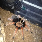 spider for sale