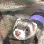 Pet shop gloucester ferret