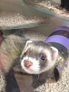 Pet shop gloucester ferret