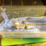 Pet shop Gloucester bearded dragon