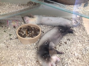 Pet shop Gloucester ferrets