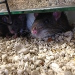 Pet shop Gloucester rats