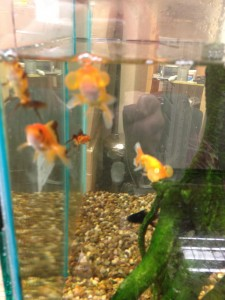 pet shop gloucester goldfish