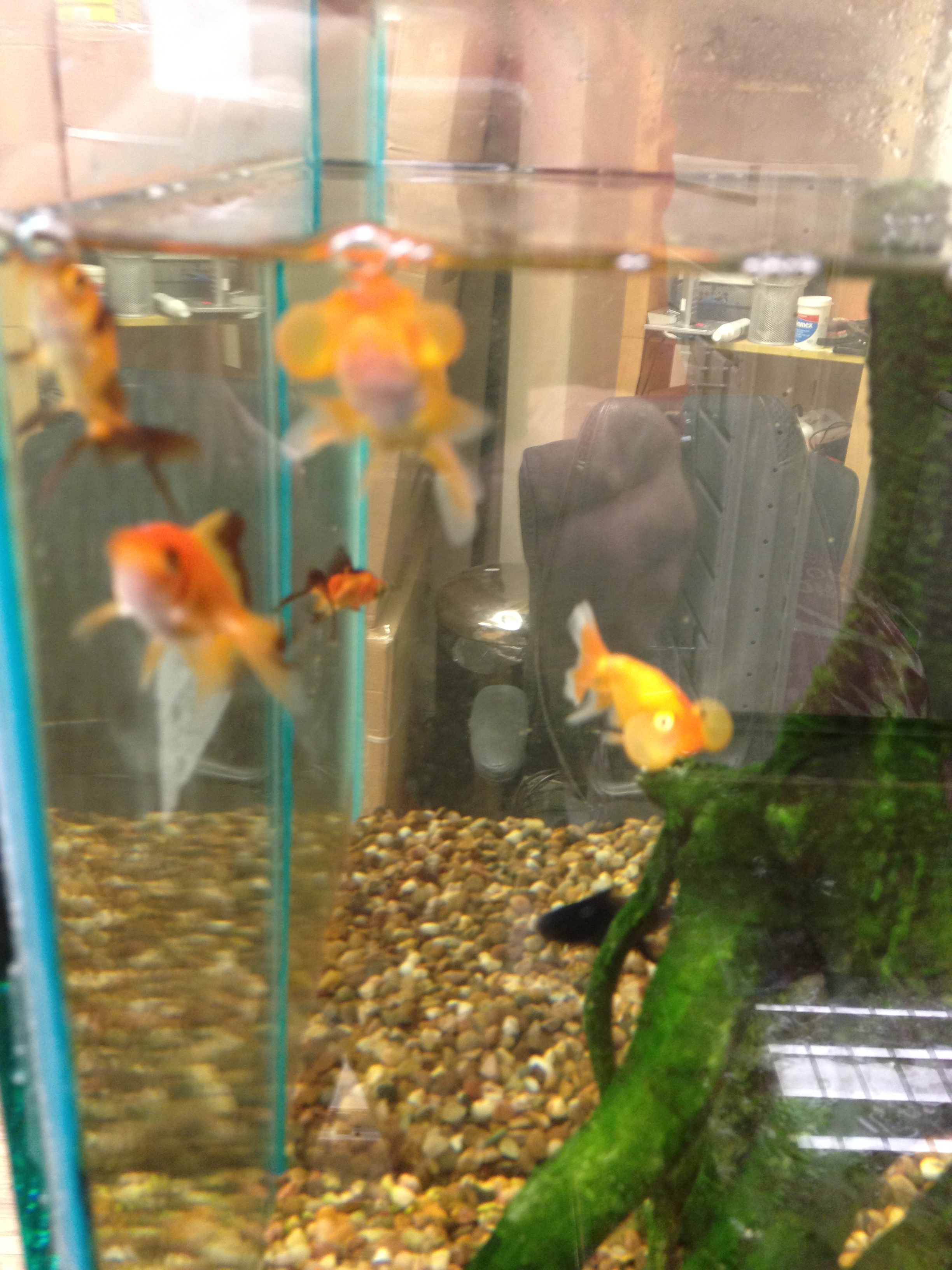 pet shop gloucester care sheet goldfish angell pets the