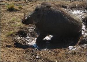 angell pet warthog