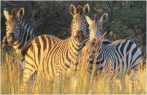 pet shop gloucester zebra
