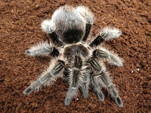 pet shop gloucester spider tarantula