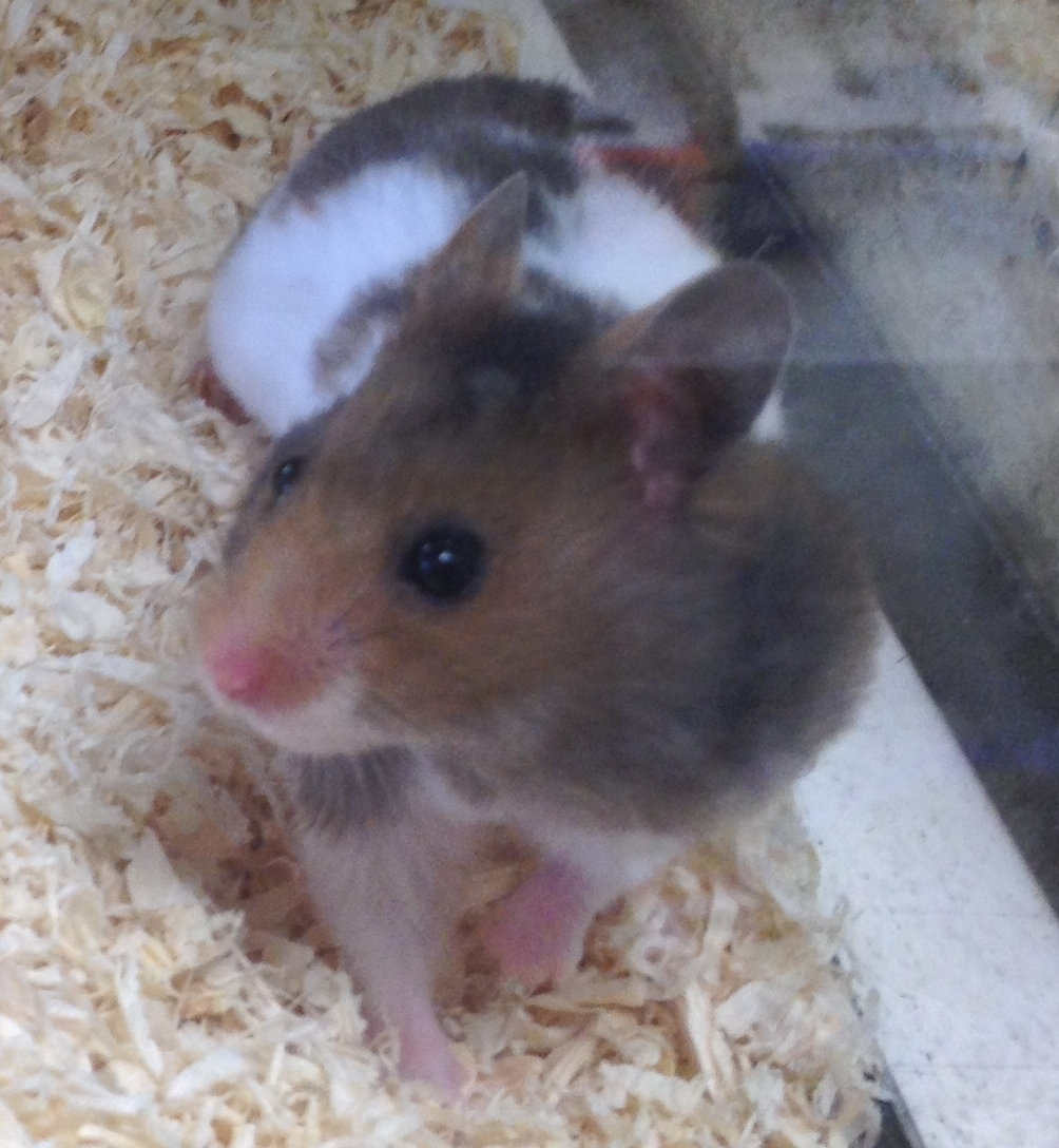 Syrian Hamster Black And White