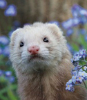 james wellbeloved ferret