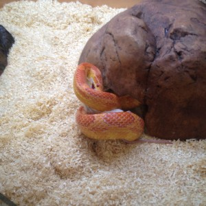 pet shop gloucester cornsnake