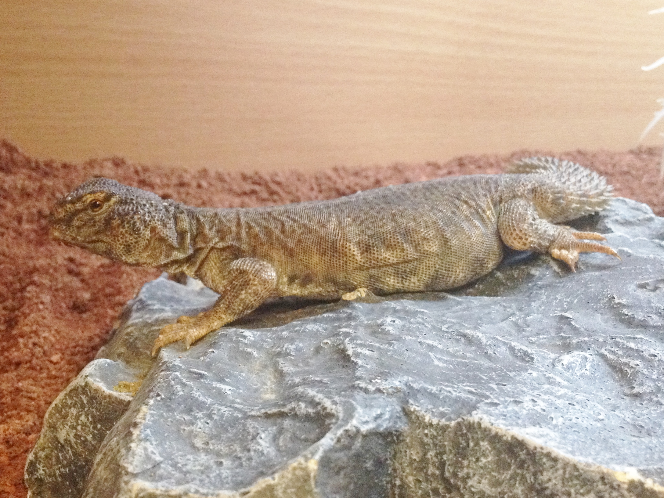 Bearded Dragon Moist Hide North African Uromastyx