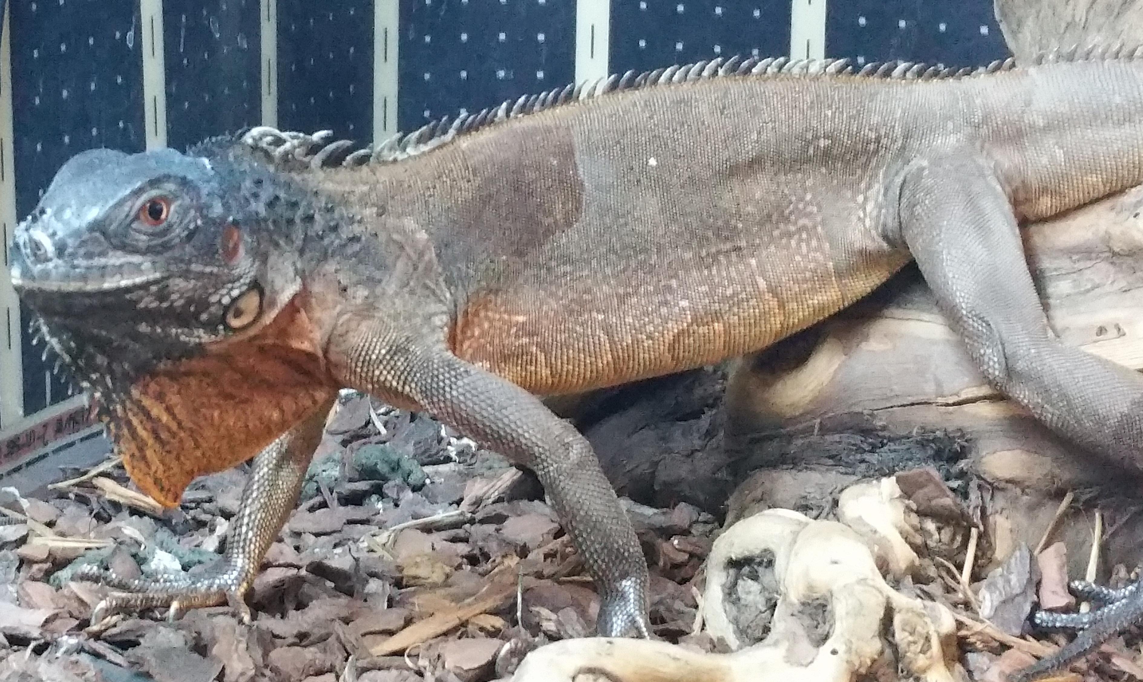 red iguana & Iguana Care Sheet | Angell Pets \u2013 The Friendliest Pet Shop In Gloucester