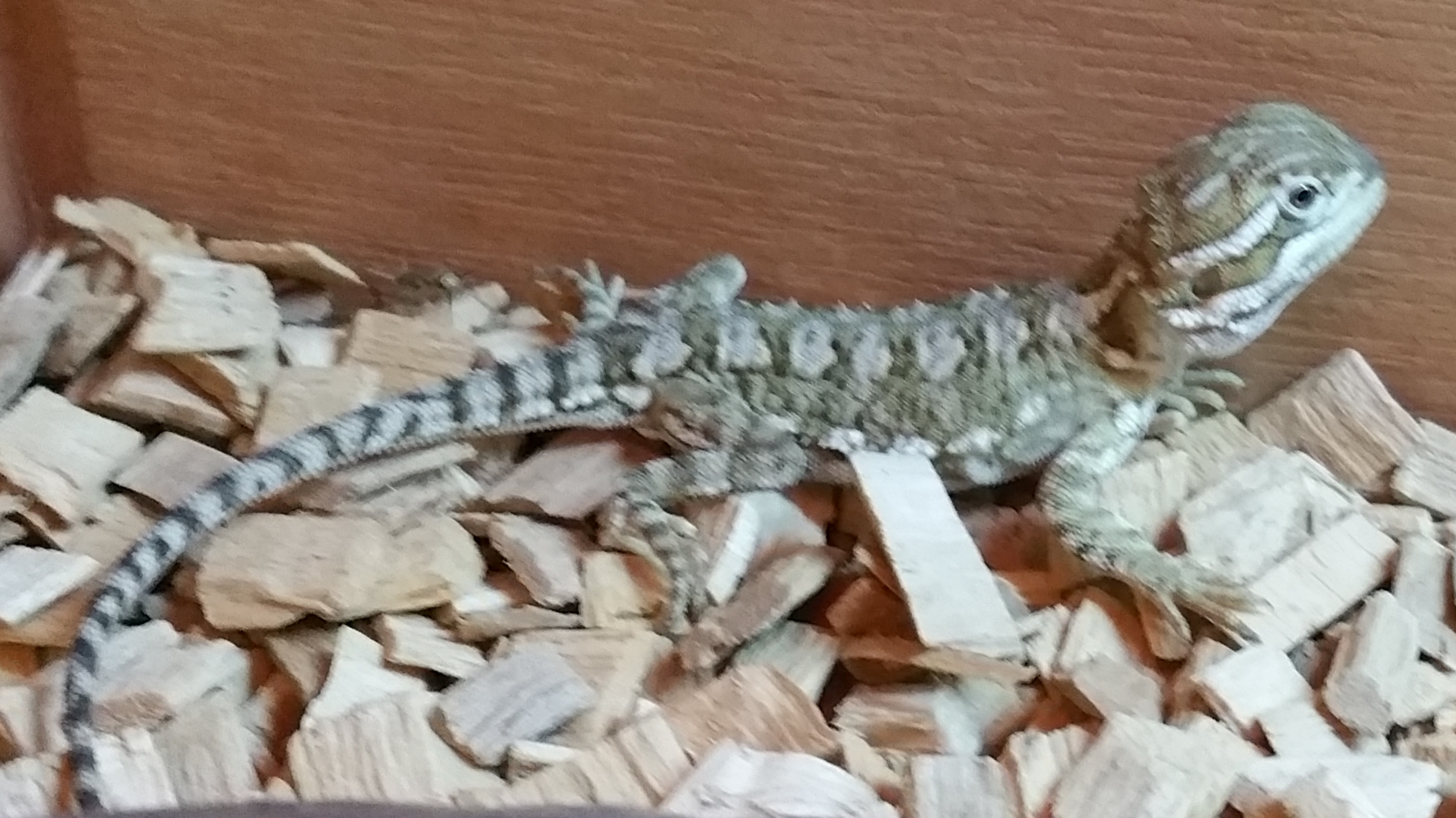 A Care For Raising Bearded Dragons