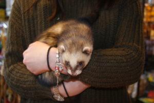 giardia in ferrets