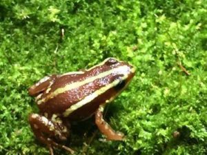 phantasmal dart frog